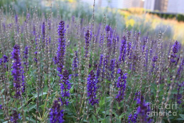 Photograph - Lavender In The City Park by Robin Maria Pedrero