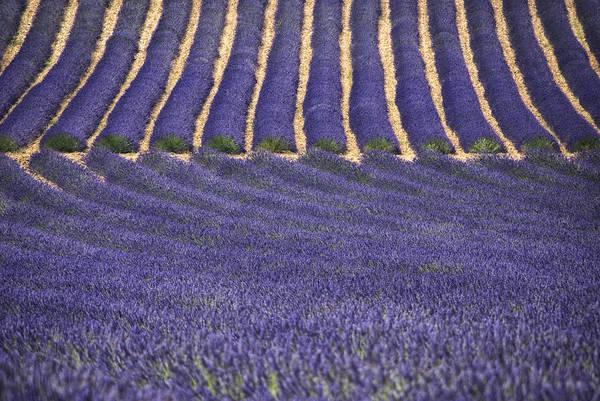 Wall Art - Photograph - Lavender Lines by Joachim G Pinkawa