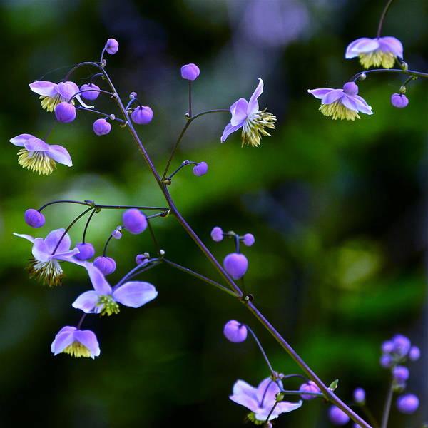 Photograph - Lavender Mist Mobile by Byron Varvarigos