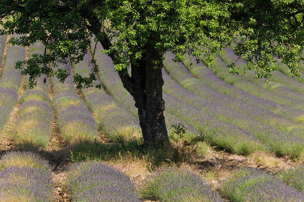 Row Crops Photograph - Lavender, Near Montbrun-les-bains by Peter Adams