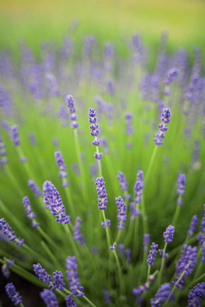 Wall Art - Photograph - Lavender Plants by Brent Bergherm
