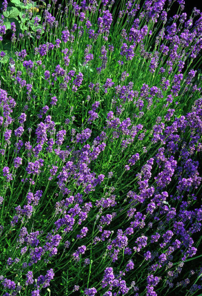 Fragrance Photograph - Lavendula Blue Fragrance. by Chris B Stock/science Photo Library