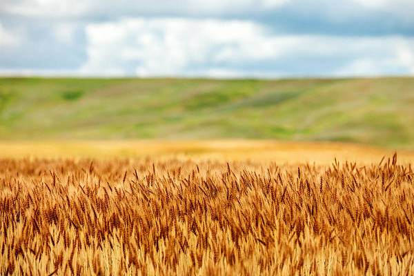 Field Photograph - Layers Of Grain by Todd Klassy