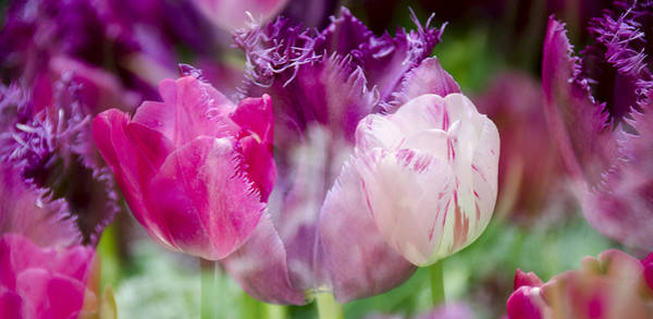 Photograph - Layers Of Tulips II by Penny Lisowski