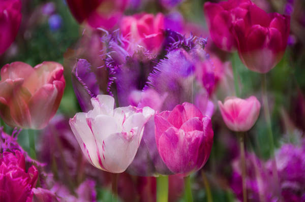 Photograph - Layers Of Tulips by Penny Lisowski