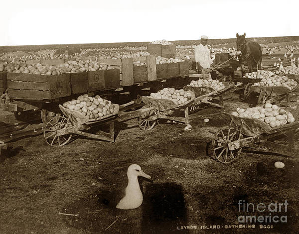 Photograph - Laysan Albatross Eggs Collected For Harvest In The Early 1890s. by California Views Archives Mr Pat Hathaway Archives