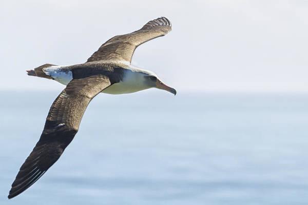 Photograph - Laysan Albatross No 2 - Kilauea - Kauai - Hawaii by Belinda Greb