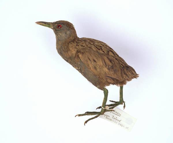 Stuffed Animal Photograph - Laysan Crake Bird by Natural History Museum, London/science Photo Library