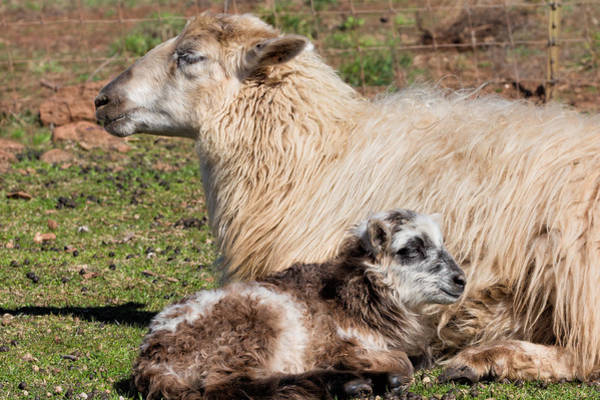 Ovine Photograph - Lazing On A Sunny Afternoon by Kathleen Bishop