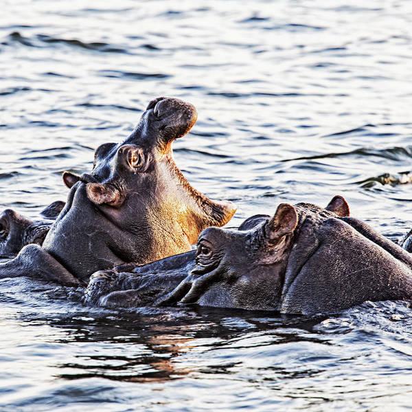 Photograph - Lazy Day On Zambezi  by John  Nickerson