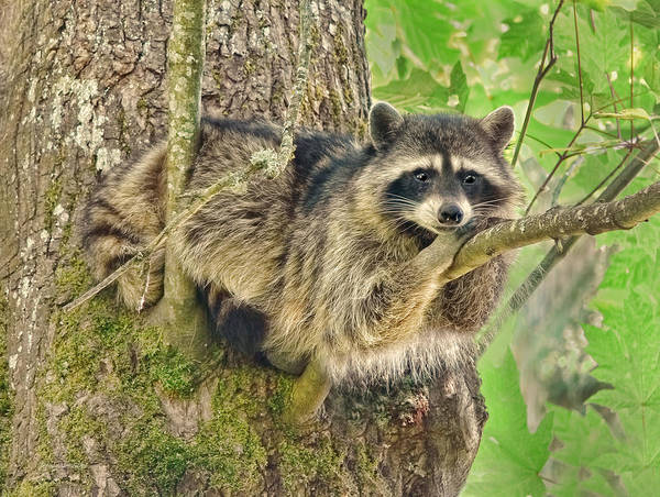 Raccoons Photograph - Lazy Day Raccoon by Jennie Marie Schell