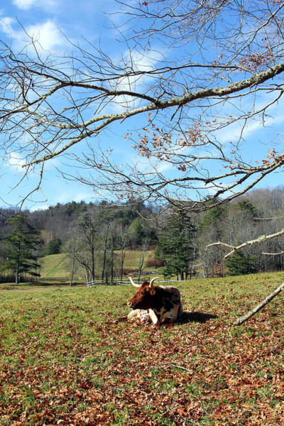 Photograph - Lazy Morning Bull by Jennifer Robin