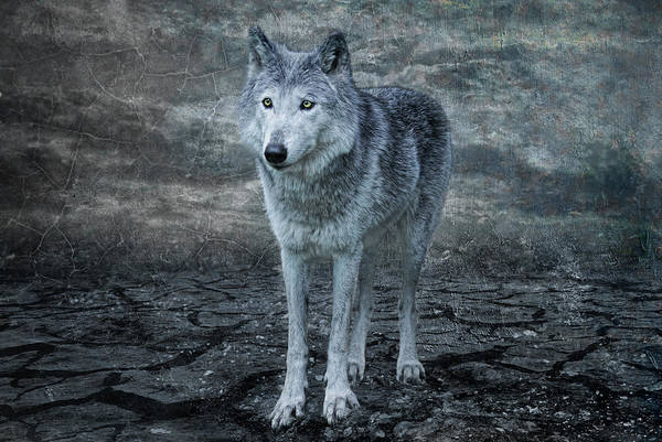 Canis Lupus Photograph - Le Loup Gris by Joachim G Pinkawa