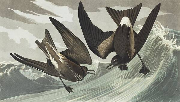 Wall Art - Photograph - Leach's Storm-petrel by Natural History Museum, London/science Photo Library