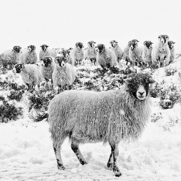 Rural Scene Photograph - Leader Of The Flock by Janet Burdon