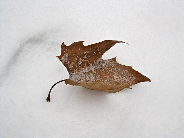Photograph - Leaf After The Snowstorm by Felix Zapata