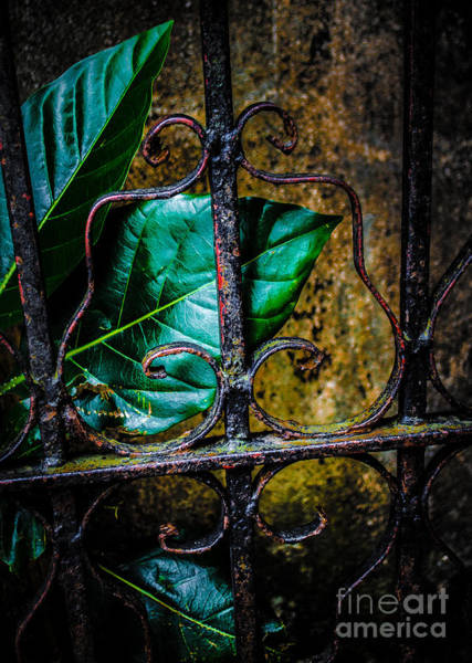 Photograph - Leaf And Iron by Michael Arend