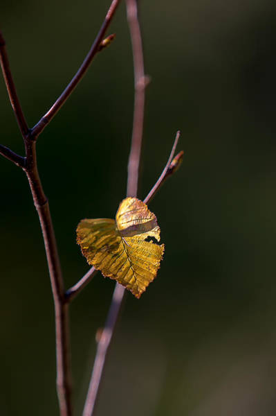 Photograph - Leaf And Twig by Sara Hudock