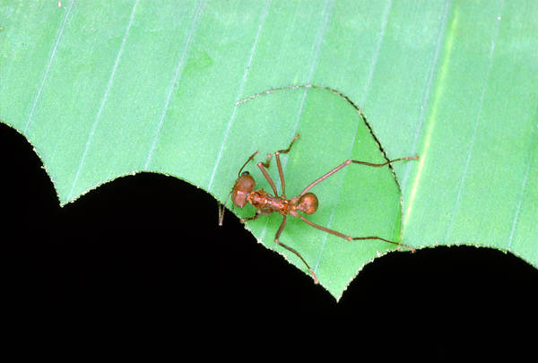Wall Art - Photograph - Leaf Cutter Ant Cutting A Section Of Leaf by Dr Morley Read/science Photo Library