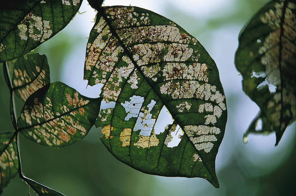 Ose Photograph - Leaf Decomposing, Caribbean National by Peter Essick