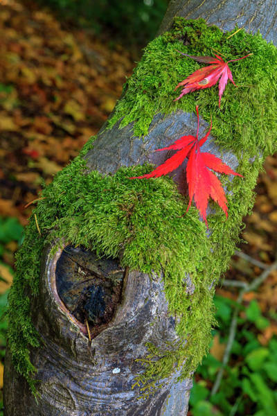Arboretums Photograph - Leaf Fall Colors Seattle Arboretum by Tom Norring