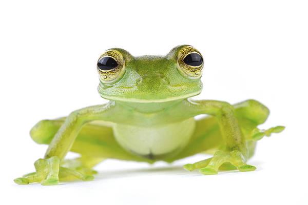 Wall Art - Photograph - Leaf Frog Tapanti Costa Rica by Piotr Naskrecki