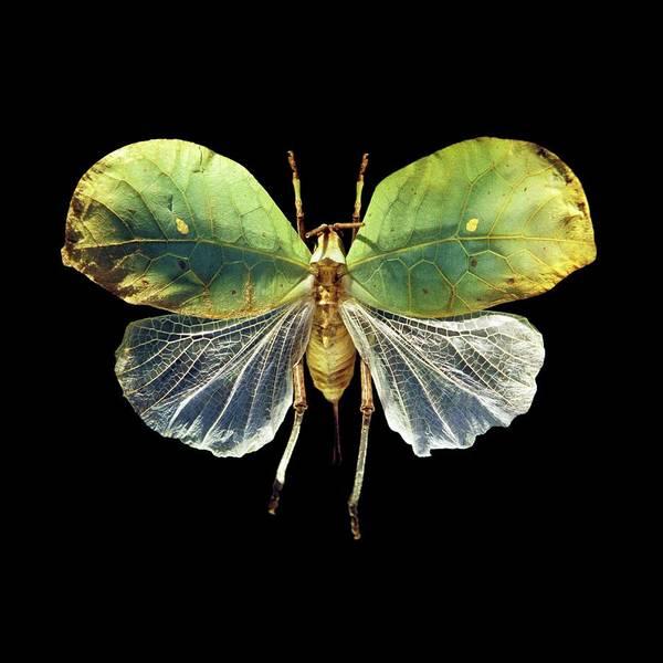 Grasshopper Photograph - Leaf Grasshopper by Patrick Landmann/science Photo Library