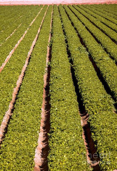 Yuma Photograph - Leaf Lettuce by Robert Bales