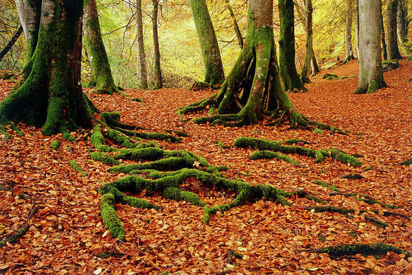 Mossy Wall Art - Photograph - Leaf Litter In Beech Wood by Archie Young/science Photo Library