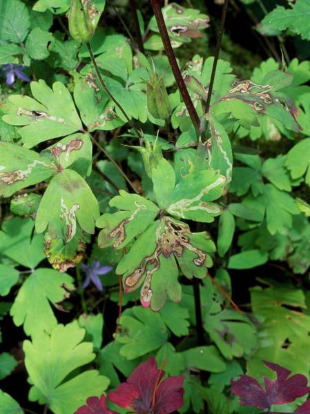 Miners Photograph - Leaf Miner On Aquilegia by Geoff Kidd/science Photo Library