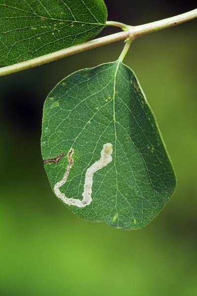 Miners Photograph - Leaf Miner On Leaf Of Snowberry by Geoff Kidd/science Photo Library