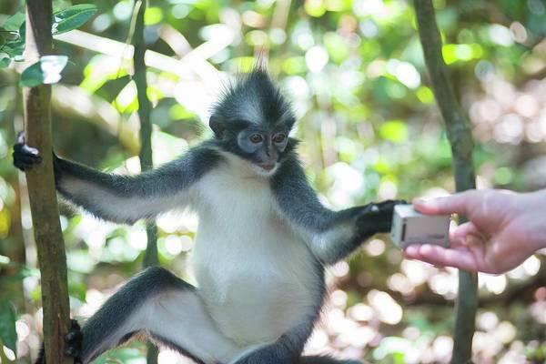 Leaf Monkey Wall Art - Photograph - Leaf Monkey Looking At Camera by Scubazoo