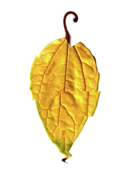 Leaf Venation Wall Art - Photograph - Leaf by Neal Grundy/science Photo Library