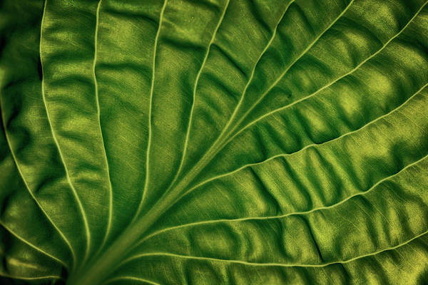 Wall Art - Photograph - Leaf Of A Hosta by Lotte Gr??nkj??r