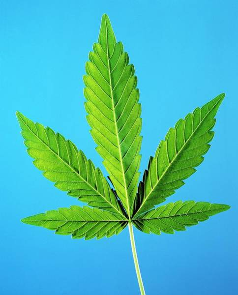 Wall Art - Photograph - Leaf Of Marijuana Plant by Science Photo Library