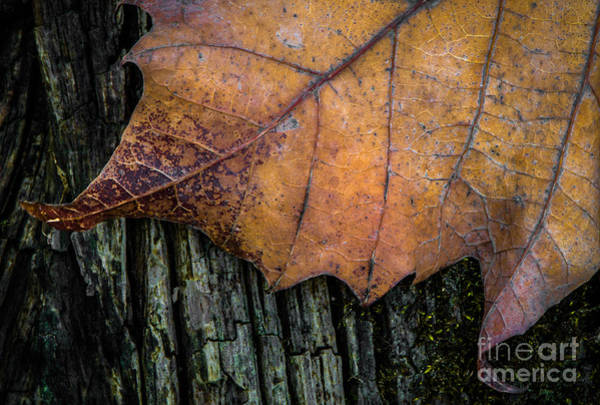 Photograph - Leaf On Wood by Michael Arend
