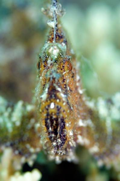 Mabul Photograph - Leaf Scorpionfish by Scubazoo/science Photo Library