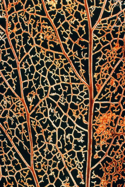 Wall Art - Photograph - Leaf Skeleton Of The Ivy Plant by Dr Jeremy Burgess/science Photo Library