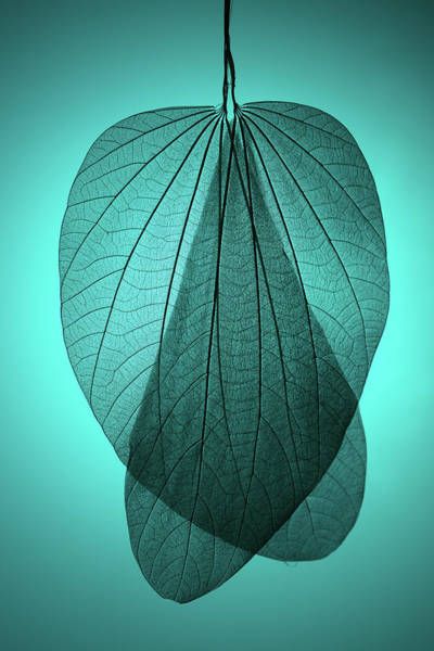 Natural Elements Photograph - Leaf Skeleton On Cyan Background by Miragec