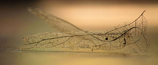 Photograph - Leaf Skeleton by Sarah Broadmeadow-Thomas
