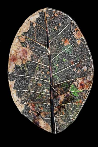 Leaf Venation Wall Art - Photograph - Leaf Skeleton by Sinclair Stammers/science Photo Library