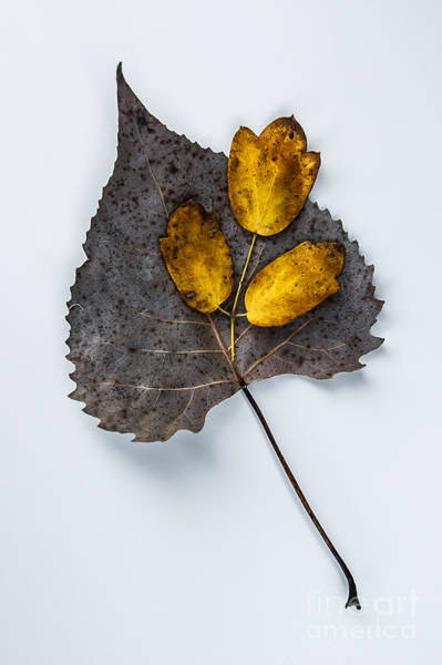 Photograph - Leaf Study by Michael Arend