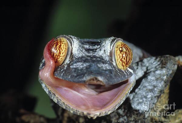 Photograph - Leaf-tailed Gecko Uroplatus Henkeli by Stephen Dalton
