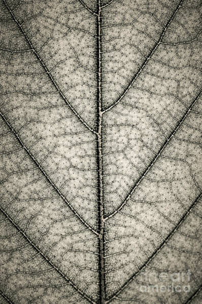 Wall Art - Photograph - Leaf Texture In Sepia by Elena Elisseeva