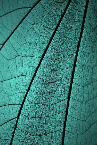 Natural Elements Photograph - Leaf Vein Skeleton Macro Cyan Tone by Miragec