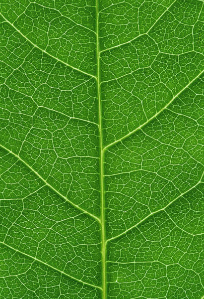 Leaf Venation Wall Art - Photograph - Leaf Veins by Gustoimages/science Photo Library