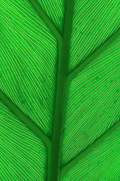 Monocotyledon Photograph - Leaf Veins by Simon Fraser/science Photo Library