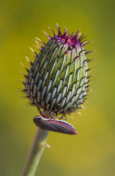 Photograph - Leafhopper On Texas Thistle Bud by Steven Schwartzman