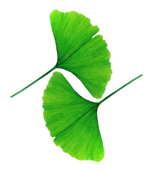 Wall Art - Photograph - Leafs Of Ginkgo Biloba by Alfred Pasieka/science Photo Library