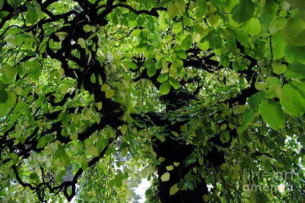 Photograph - Leafy Heaven 2 by Rachael Shaw